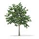 Pedunculate Oak (Quercus Robur) 9.4m