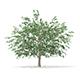Pedunculate Oak (Quercus Robur) 15.2m