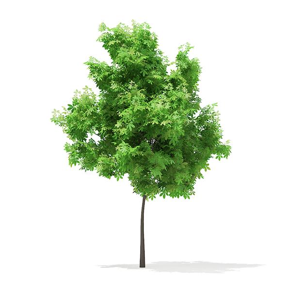 Horse Chestnut (Aesculus hippocastanum) 3.5m - 3DOcean Item for Sale