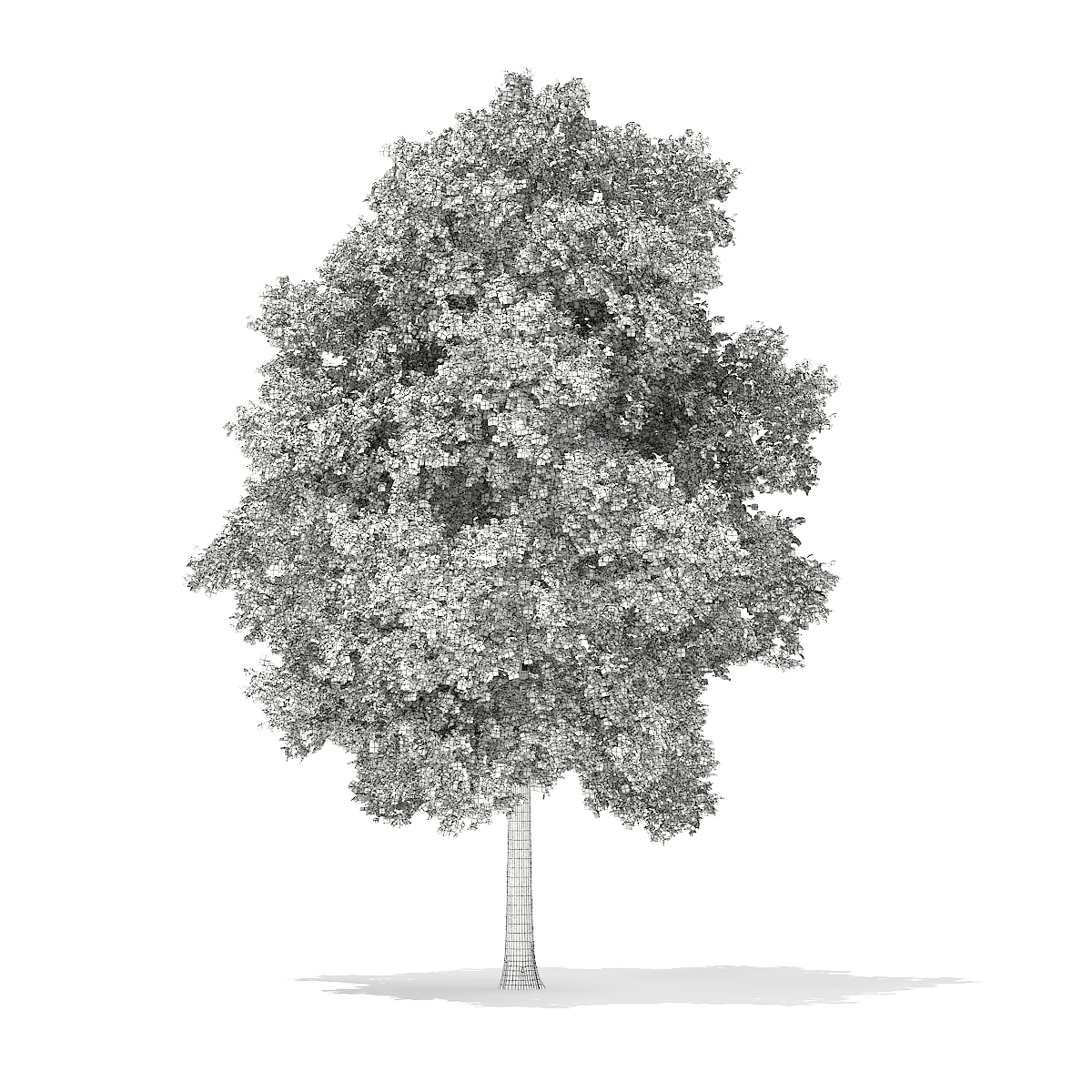 Horse Chestnut (Aesculus hippocastanum) 23.3m