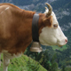Cows with Bells - AudioJungle Item for Sale
