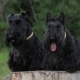 Two Scottish Terriers - VideoHive Item for Sale