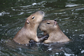 Capybaras playing in the water - PhotoDune Item for Sale