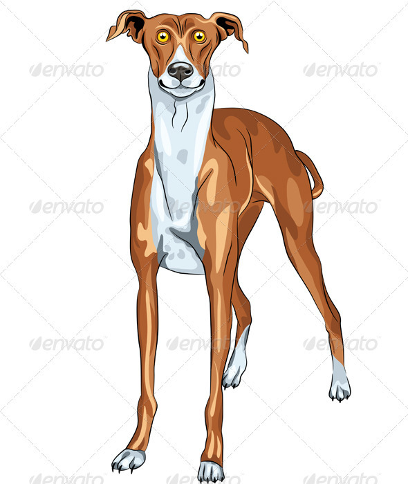 Vector Greyhound Dog Breed Smile - Animals Characters
