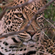 Wild Leopard in Botswana - VideoHive Item for Sale