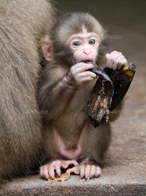 Japanese monkey baby - Stock Photo - Images
