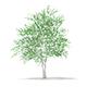 Silver Birch (Betula pendula) 4.6m