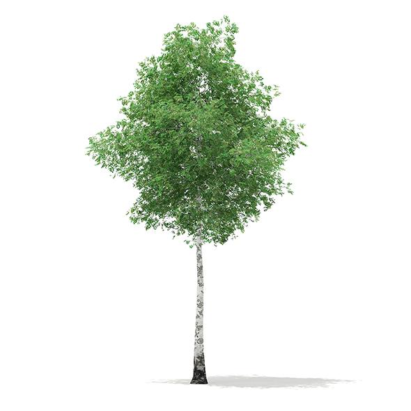 Silver Birch (Betula pendula) 14.8m - 3DOcean Item for Sale