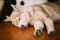 Young White And Red Husky Puppy Eskimo Dog Sleeping