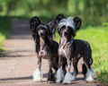 Two Chinese Crested Dogs - PhotoDune Item for Sale