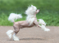 Chinese Crested Dog - PhotoDune Item for Sale