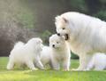 Family Samoed Dog - PhotoDune Item for Sale