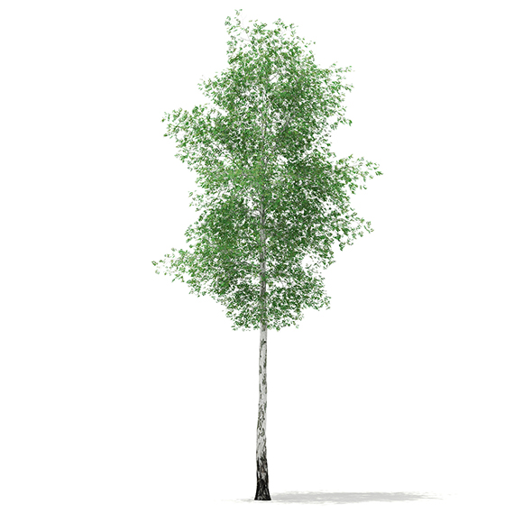 Silver Birch (Betula pendula) 21.4m - 3DOcean Item for Sale