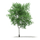 Silver Birch (Betula pendula) 13.1m