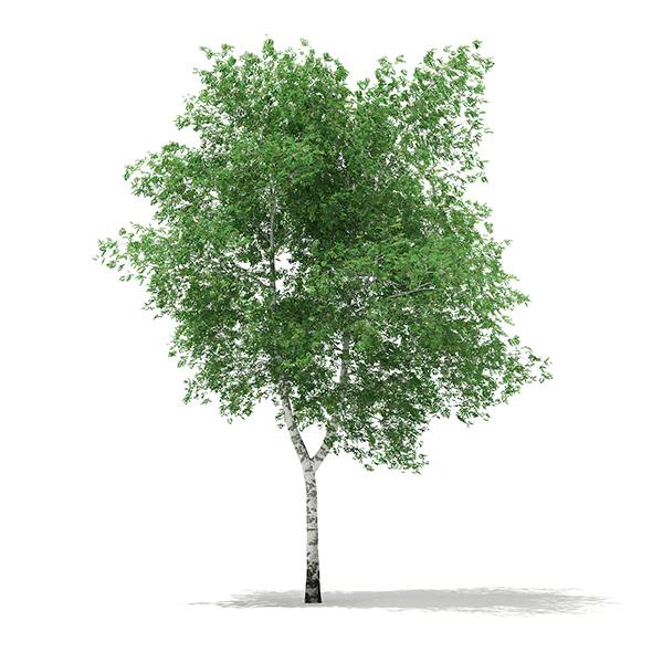 Silver Birch (Betula pendula) 13.1m - 3DOcean Item for Sale