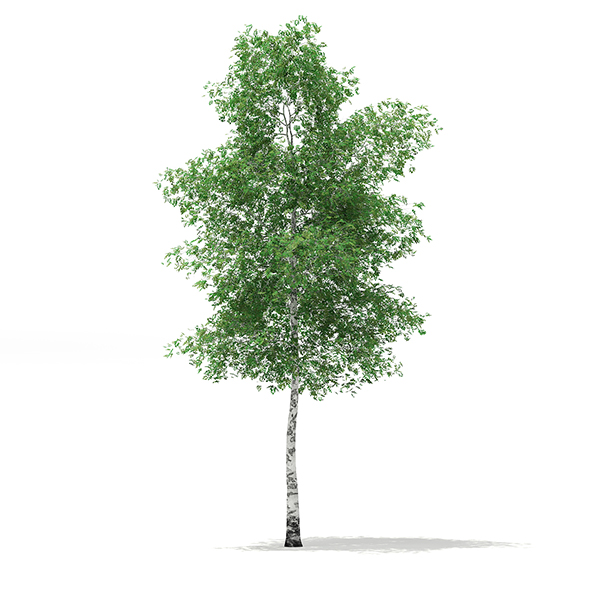 Silver Birch (Betula pendula) 13.8m - 3DOcean Item for Sale