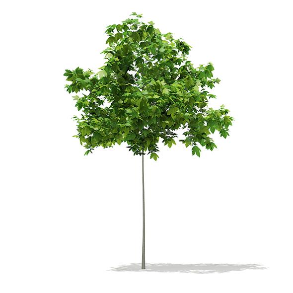 Sycamore Maple (Acer pseudoplatanus) 2m - 3DOcean Item for Sale