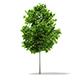 Sycamore Maple (Acer pseudoplatanus) 3.8m