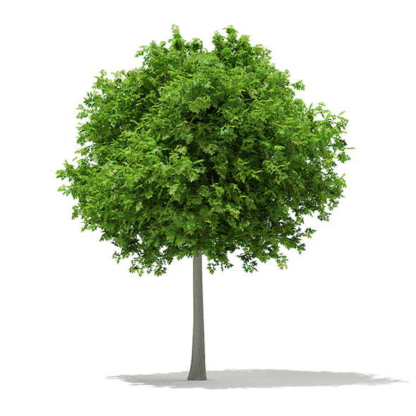 Sycamore Maple (Acer pseudoplatanus) 6.9m - 3DOcean Item for Sale