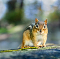 Wild chipmunk - PhotoDune Item for Sale