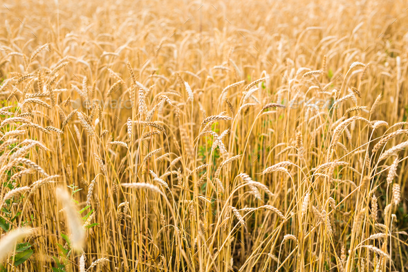 field of rye - Stock Photo - Images