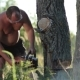 Man In Glasses With Chainsaw Sawing a Dry Tree - VideoHive Item for Sale