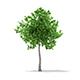 Sweetgum Tree (Liquidambar styraciflua) 3.8m