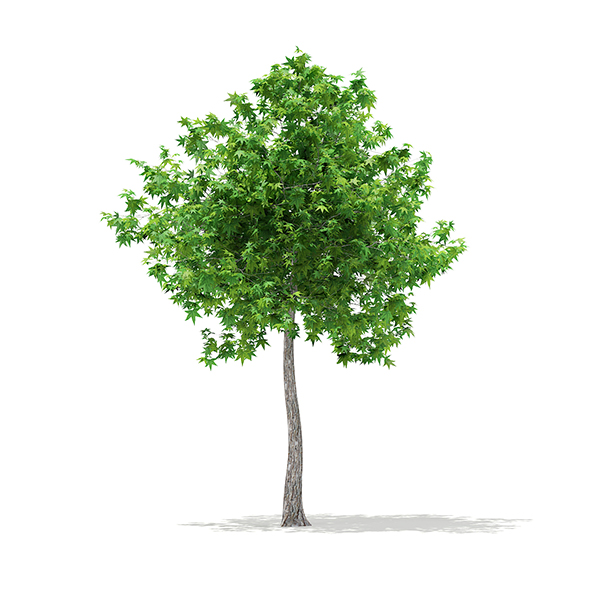 Sweetgum Tree (Liquidambar styraciflua) 3.8m - 3DOcean Item for Sale