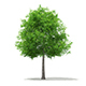 Sweetgum Tree (Liquidambar styraciflua) 11.3m