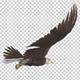 Raptor Bird - Bald Eagle - Glide Cycle - Right Back Angle - VideoHive Item for Sale