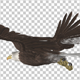 Raptor Bird - Bald Eagle - Glide Cycle - Left Back Angle - VideoHive Item for Sale