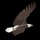 Raptor Bird - Bald Eagle - Round Gliding - VideoHive Item for Sale