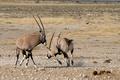 Oryx (Gemsbok) fighting