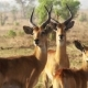 Impala Ram Motionless In Africa - VideoHive Item for Sale