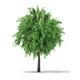White Willow (Salix alba) 4m