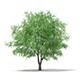White Willow (Salix alba) 13m