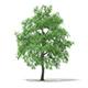 White Willow (Salix alba) 15.2m