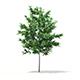 Bigtooth Aspen (Populus grandidentata) 3.4m