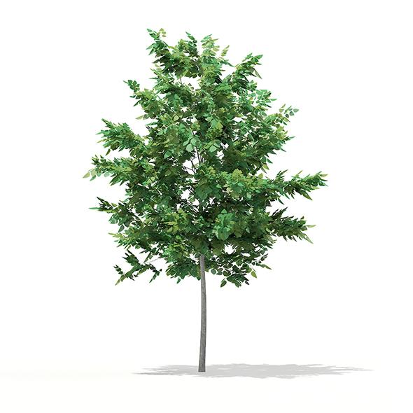 Bigtooth Aspen (Populus grandidentata) 3.4m - 3DOcean Item for Sale