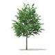 Bigtooth Aspen (Populus grandidentata) 10.3m
