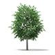 Bigtooth Aspen (Populus grandidentata) 12m