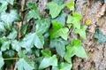 Ivy on tree - PhotoDune Item for Sale