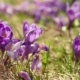 Crocus Flowers Field - VideoHive Item for Sale