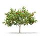 European Rowan (Sorbus aucuparia) 2.9m