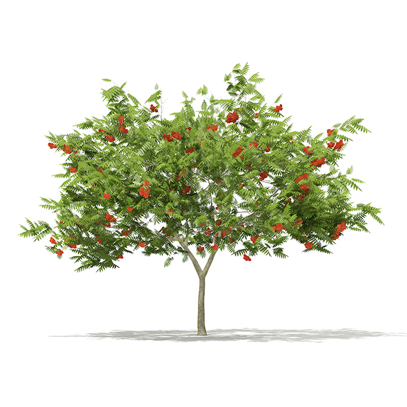 European Rowan (Sorbus aucuparia) 2.9m - 3DOcean Item for Sale