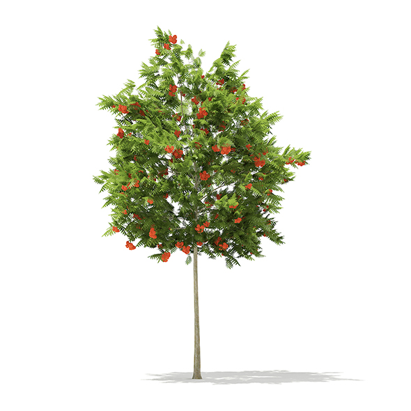 European Rowan (Sorbus aucuparia) 4.5m - 3DOcean Item for Sale