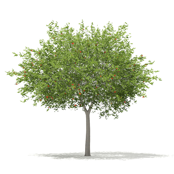 European Rowan (Sorbus aucuparia) 8.6m - 3DOcean Item for Sale