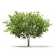 European Rowan (Sorbus aucuparia) 4.1m