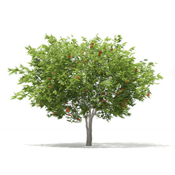 European Rowan (Sorbus aucuparia) 4.1m - 3DOcean Item for Sale
