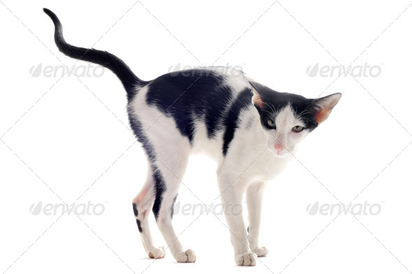 urinating oriental cat - Stock Photo - Images
